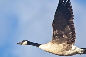 HOW GEESE CAN FUEL YOUR AMBITION TO BE A LEADER OF CHANGE
